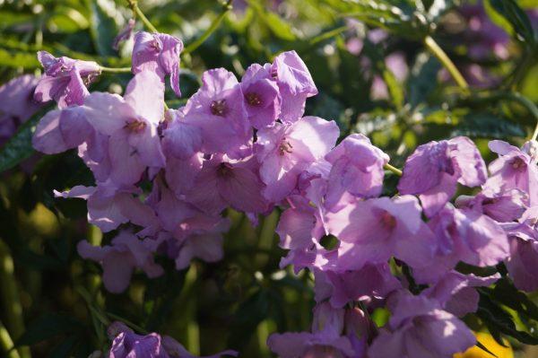 cardamine_pentaphylla_morlas_plants