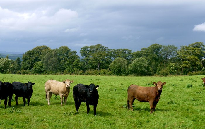 premium beef supplier Stravenhouse farm