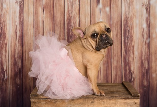 MorLove-Pet-Photographer-Studio-Bulldog-Tutu