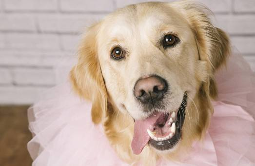 MorLove-Pet-Photographer-Studio-Golden-Retriever