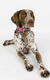 MorLove-Pet-Photographer-Studio-Pointer-Dog