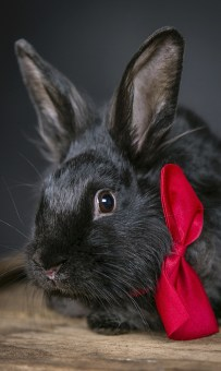 MorLove-Pet-Photographer-Studio-Rabbit-Bowtie