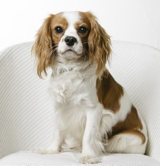 MorLove-Pet-Photographer-Studio-Spaniel