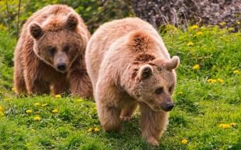 two bears walking