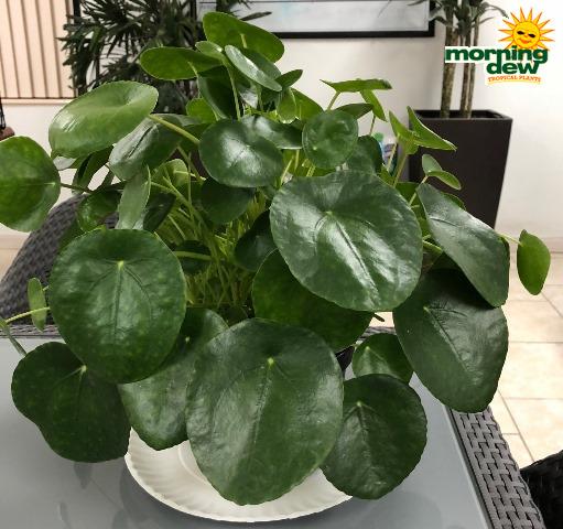 Pilea  Morning Dew Tropical Plants