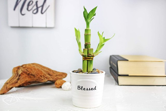Live Lucky Bamboo