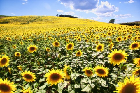 Sunflower Fields in Tuscany, Italy