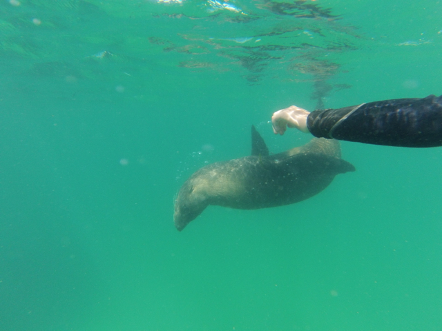 Playful seal visitor while snorkelling by Mornington Sea Glass
