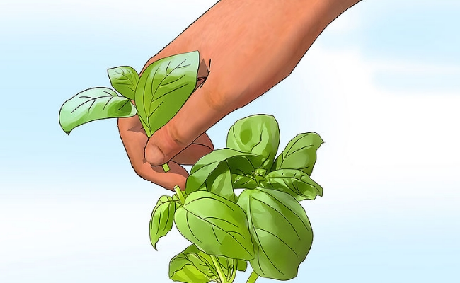 Basil - 8 Trusted Home Remedies For Instant Relief From Headache