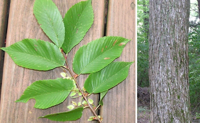 Cough home remedy with slippery elm