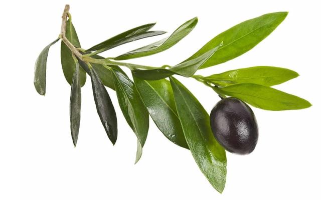 Leaf Of Olive