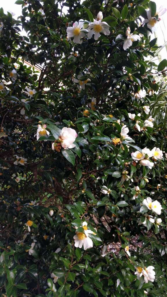early-flowering camellia in the Morrab Garden, Penzance