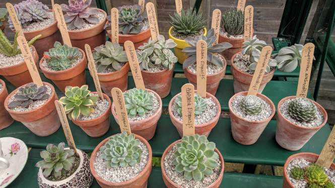 Friends of Morrab Gardens are selling these succulents in vintage clay pots, prices from £5
