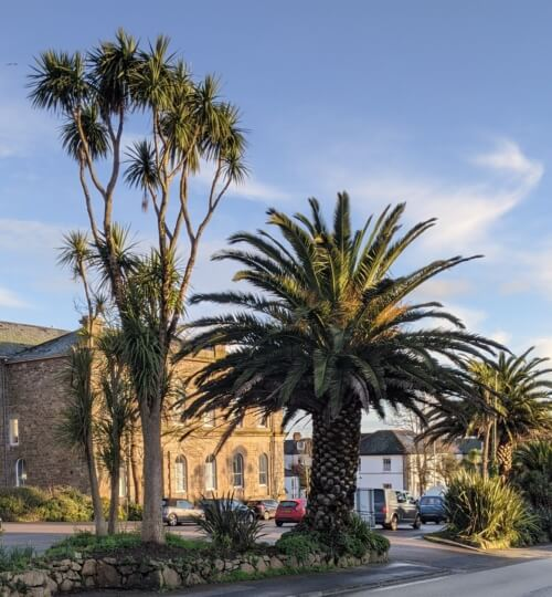 A Cordyline and Phoenix palm tree at the roadside outside St John's Hall
