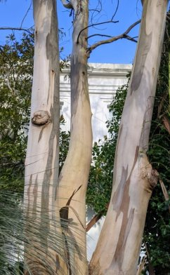 A multi-stemmed eucalyptus in Morrab Gardens, showing patterns in the smooth bark