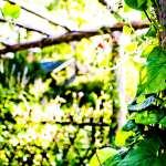 Close up of vine leaf