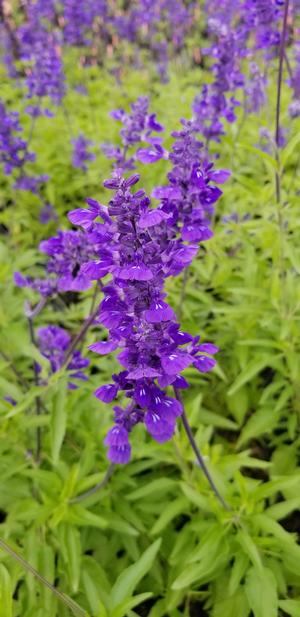 Salvia farinacea Evolution Salvia Mealy Blue Sage from