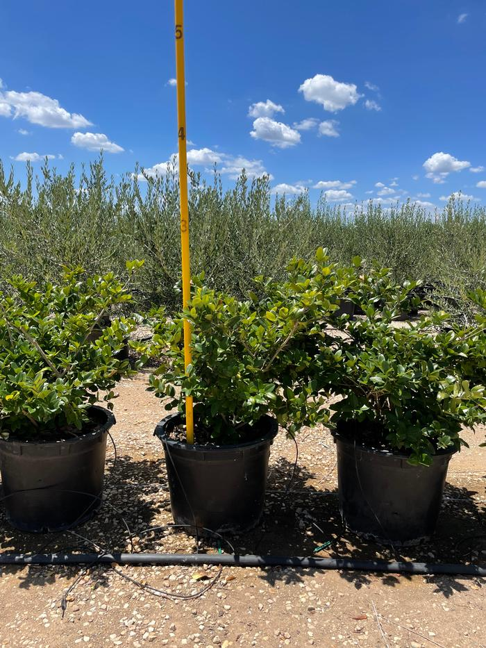 Ligustrum japonicum Texanum Ligustrum Waxleaf from