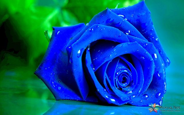 Blue Rose Wide Desktop Background