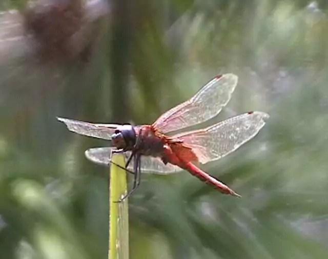 botGarden_dragonfly