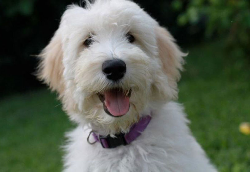 Goldendoodle Puppies by Moss Creek Goldendoodles in