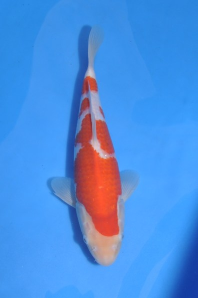 Mer balanserad, saknar dock mer rött på huvudet. Men för mig en bättre fisk än den andra.