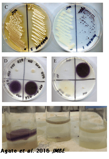 Images of petri dishes with purple pigmented bacteria growing