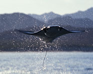 Flying Mobula breaching
