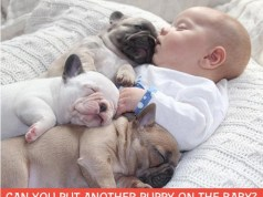 Baby Sleeping with Pugs