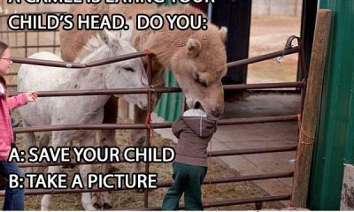 funny picture camel eating kid's head