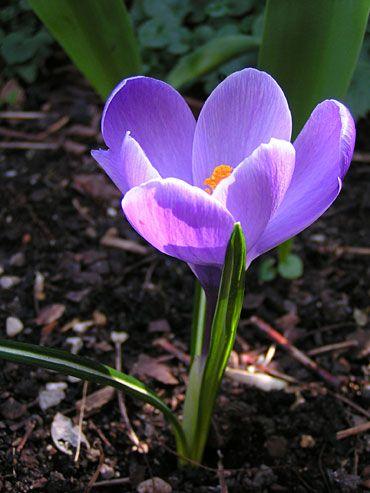 crocus-violet