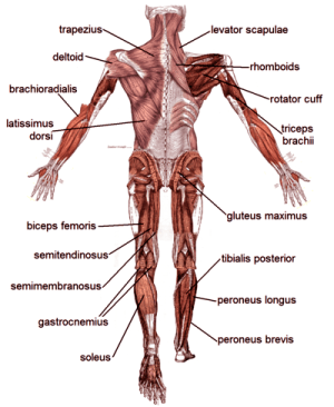 Muscle Diagrams of Major Muscles Exercised in Weight