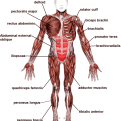 Human Muscle Cell Diagram Labeled Sony Cdx Gt32w Wiring Muscles With Names Of Proper Empat Stanito Com Diagrams Major Exercised In Weight Training Rh Motleyhealth Printable