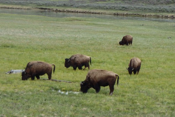 Bison in a herd