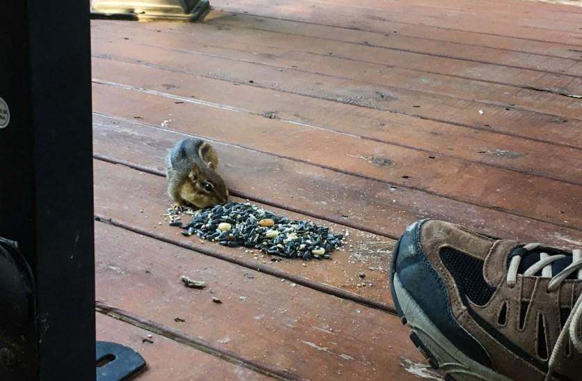 The little chipmunk was happy to be fed on Clyde's porch