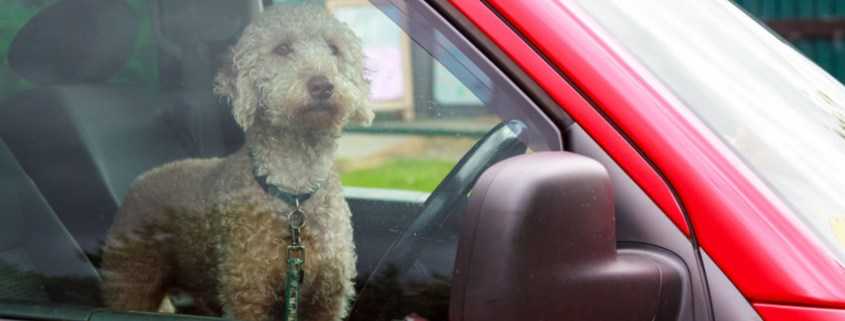 The dangers of dogs in hot cars
