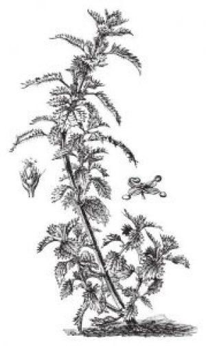 Fig 1. Urtica urens. Plantes médicinales.