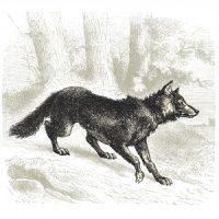 Voir le loup [vwar le lu]