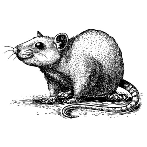 Faire queue de rat [fèr kö de ra]