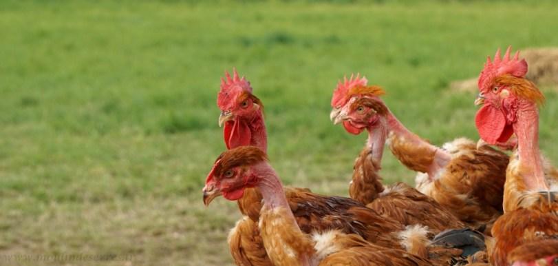 poulets_de_chair_2016