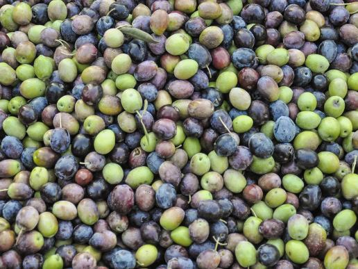Olives avant pressage- Ardèche