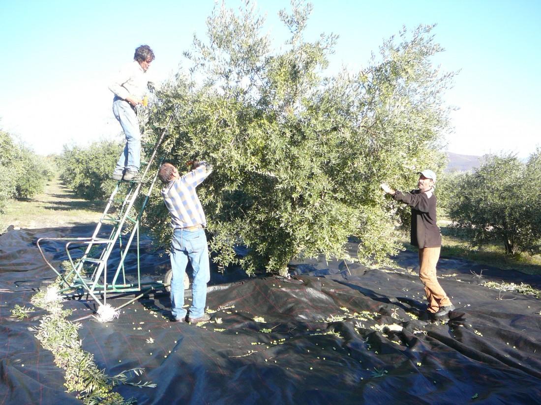 la cueillette de olives