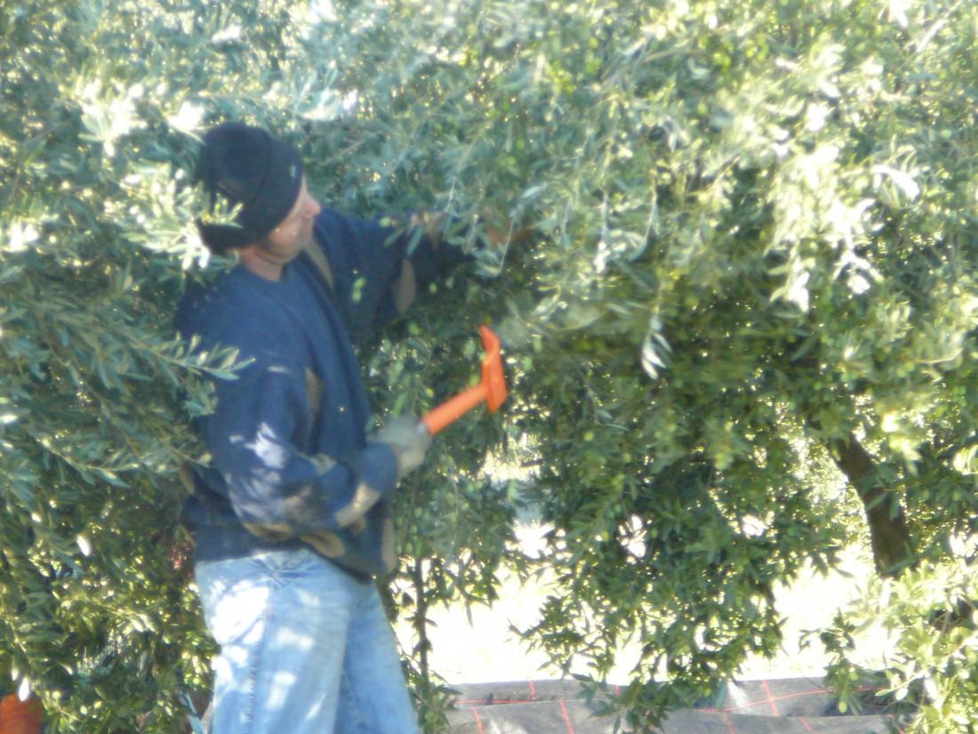 la cueillette de olives au peigne
