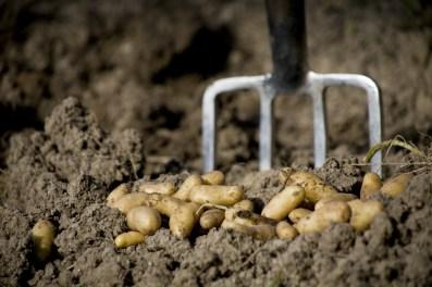 Pomme-de-terre : Noirmoutier, Ratte et Corne-de-gatte