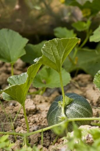 Melon Gris de Hongrie