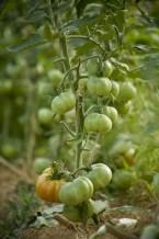 tomate-verte