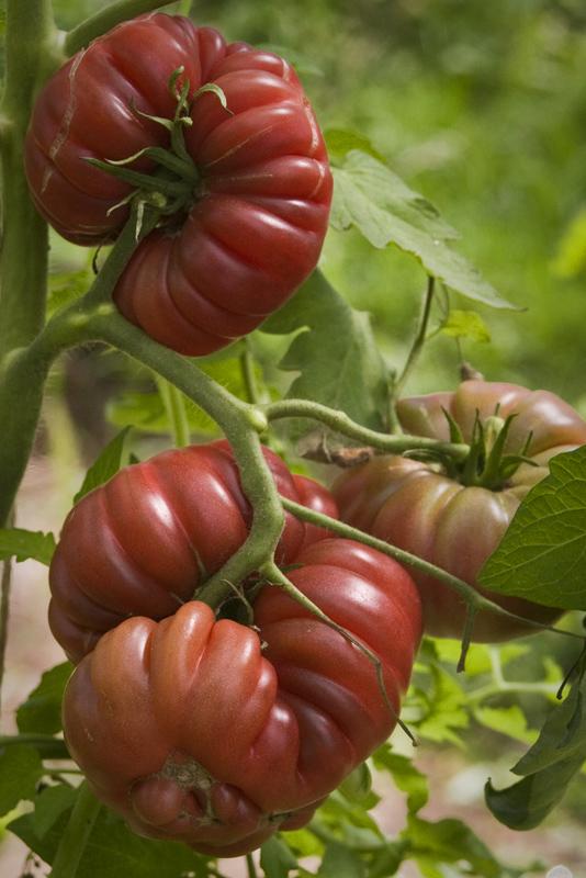 tomate10