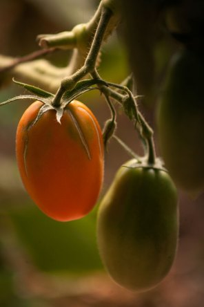 Tomate Kaki-coing