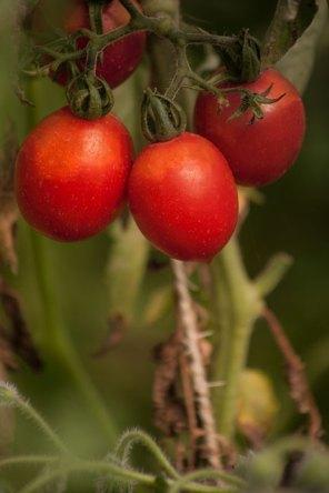 Tomate Brun de muguet, tomate cerise