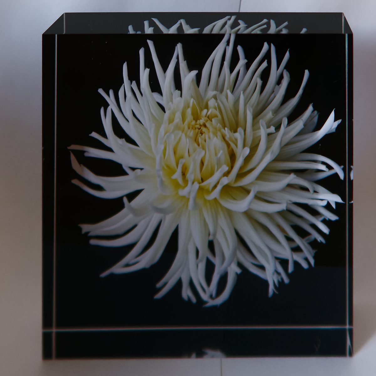 White Dahlia - Brian Salisbury
